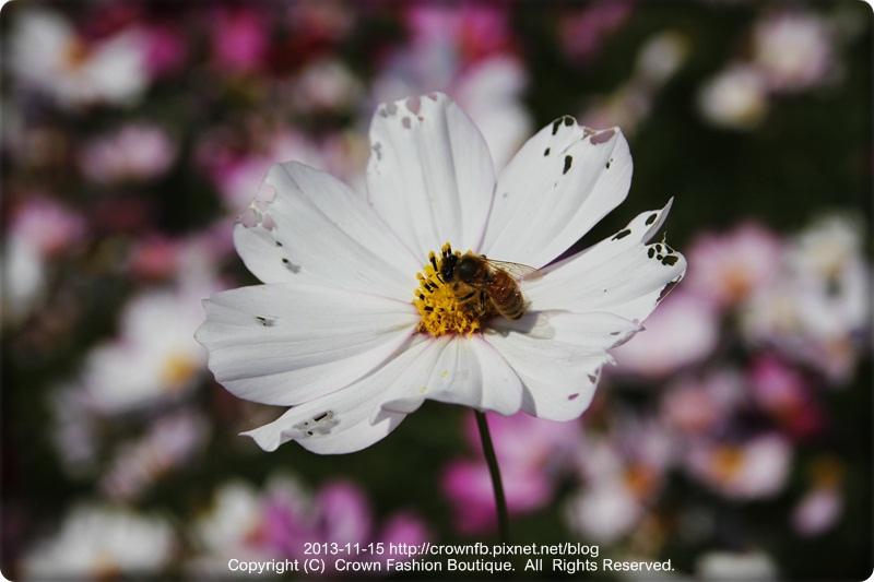 _MG_4858新社花海.JPG