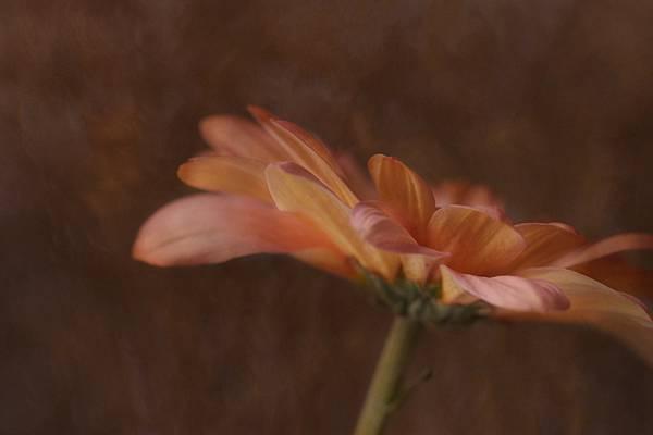 daisy-flower_EZB6O49HWW