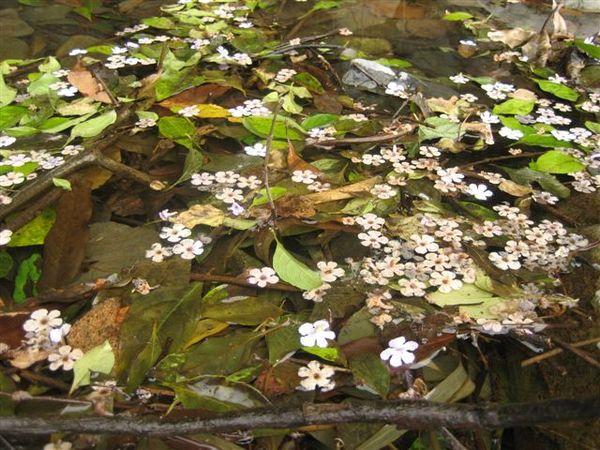 水漥上有很可愛的花辦
