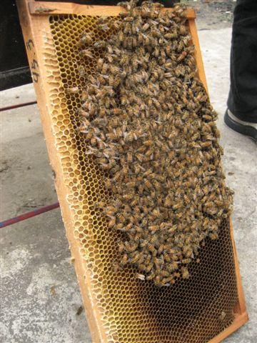 蜜蜂們~蜂后是有紅點的那個