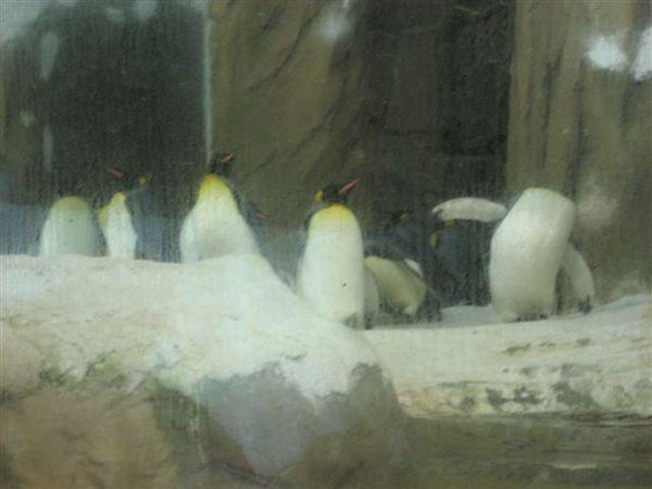 傳說中的國王企鵝~