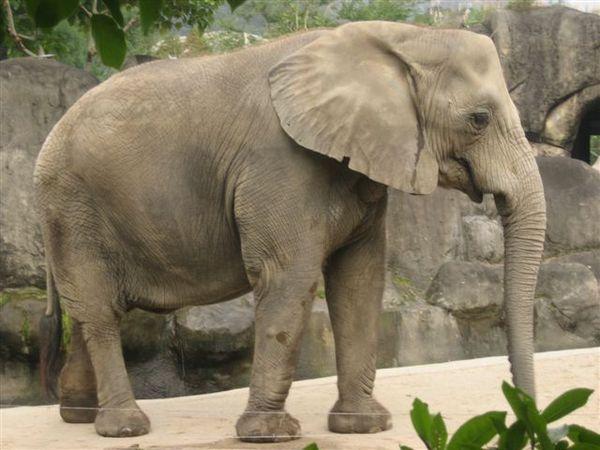 大象哦~~好像是非洲象吧