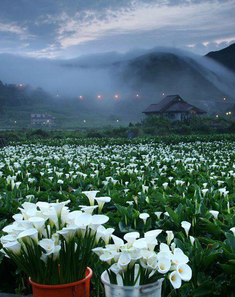 台灣 陽明山國家公園台灣之美~~海芋花季開始了 抽個空去走走吧!