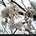 2011-桃之櫻