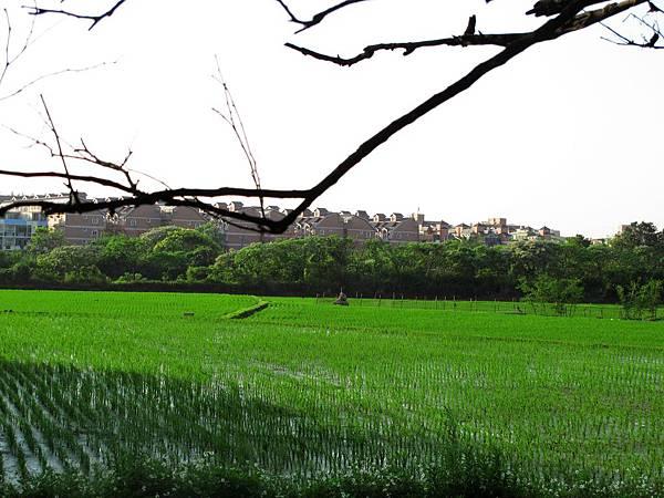 路邊的稻田.jpg