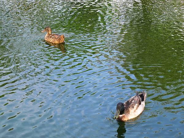 湖裡的鴨子.JPG