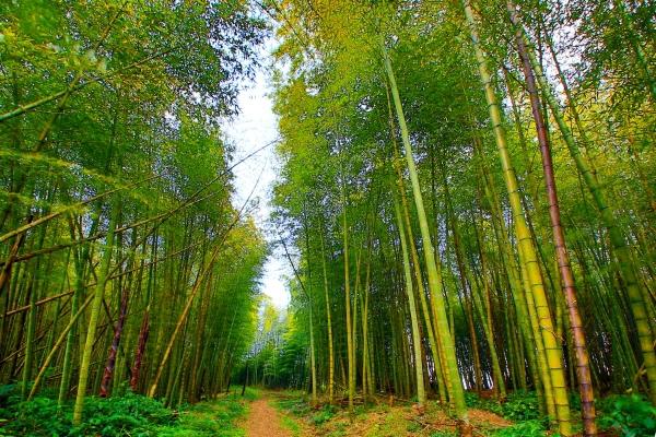 16竹林風韻之美 《二》