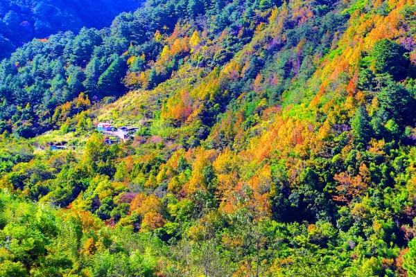 20尖石鄉錦屏村 在峽谷與雲端賞楓   一