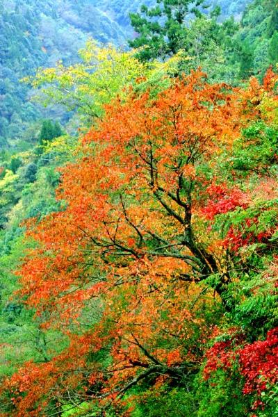 14玉山國家公園   阿里山風景區紅艷正燦爛