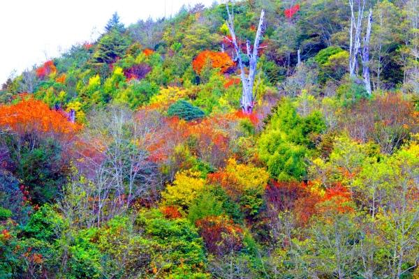 11玉山國家公園   阿里山風景區紅艷正燦爛