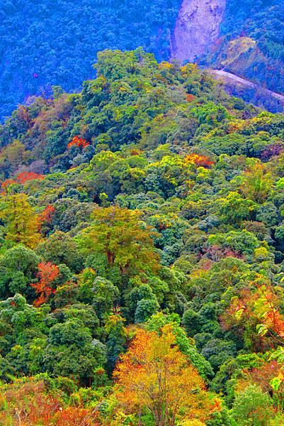 18玉山國家公園   阿里山風景區紅艷正燦爛