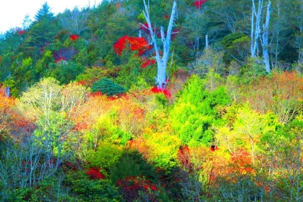 8玉山國家公園   阿里山風景區紅艷正燦爛