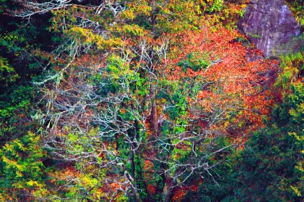 15玉山國家公園   阿里山風景區紅艷正燦爛
