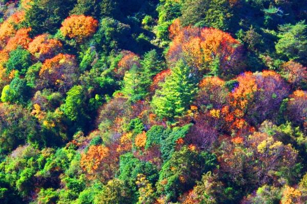 13玉山國家公園   阿里山風景區紅艷正燦爛