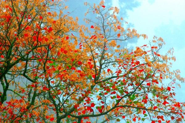 19玉山國家公園   阿里山風景區紅艷正燦爛