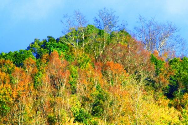 16玉山國家公園   阿里山風景區紅艷正燦爛