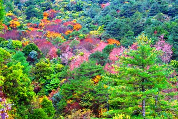 17玉山國家公園   阿里山風景區紅艷正燦爛