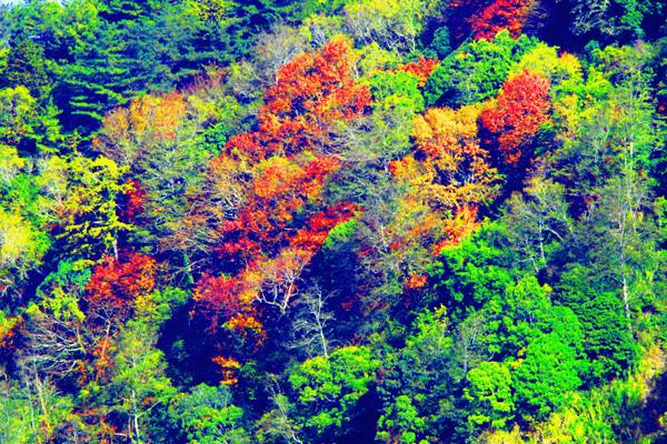 4玉山國家公園   阿里山風景區紅艷正燦爛