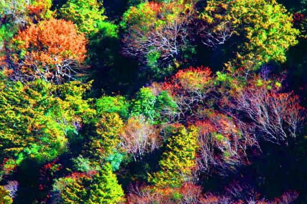 9玉山國家公園   阿里山風景區紅艷正燦爛