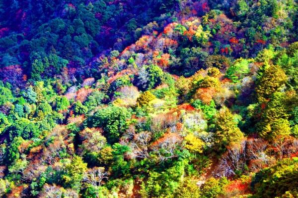 20玉山國家公園   阿里山風景區紅艷正燦爛