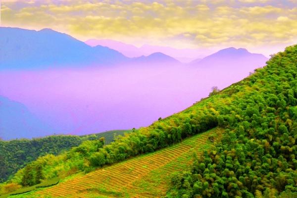 11碧湖茶山冬色 二