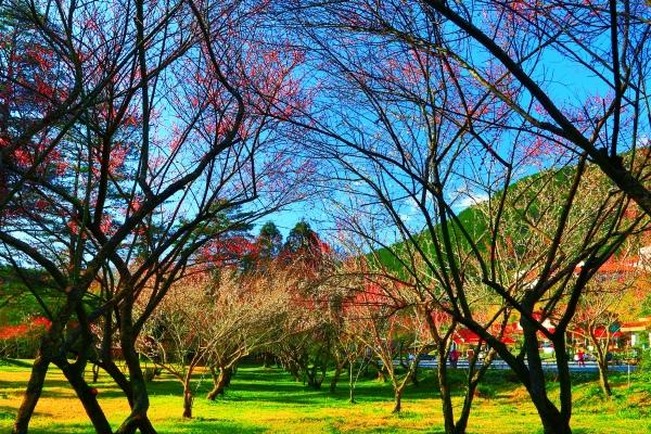 4武陵紅梅