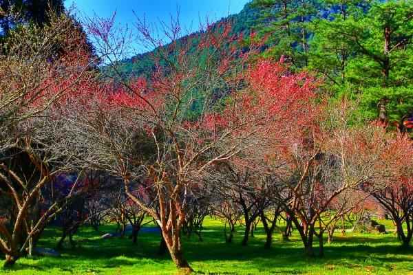 10武陵紅梅
