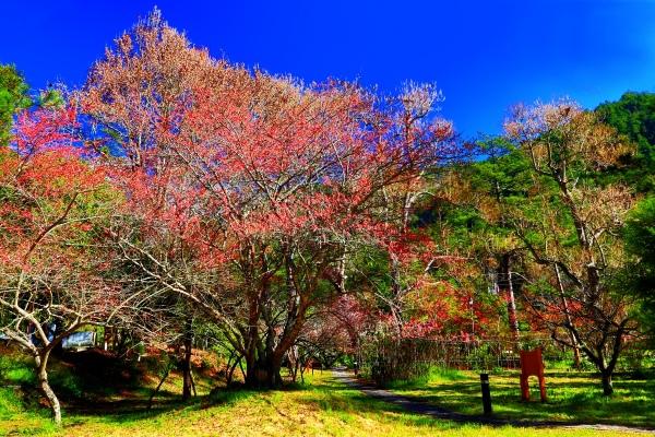 7武陵紅梅