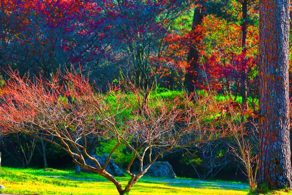 13武陵紅梅