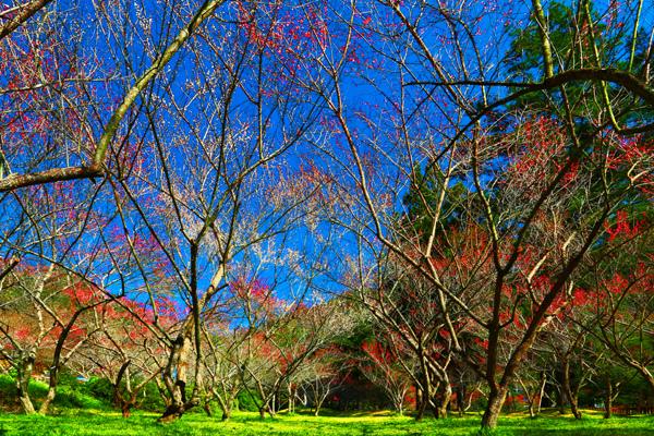 12武陵紅梅