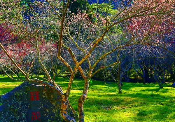 16武陵紅梅