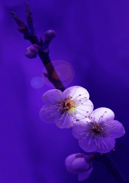 14拍攝梅花之美緣起