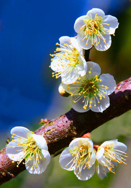 12拍攝梅花之美緣起
