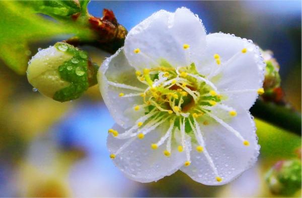 14烏松崙梅花之美