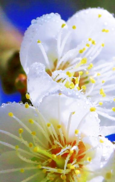 15烏松崙梅花之美