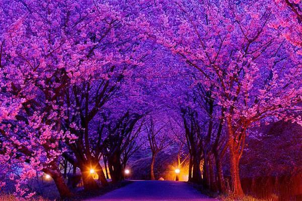 2武陵的櫻花  美豔浪漫絕倫