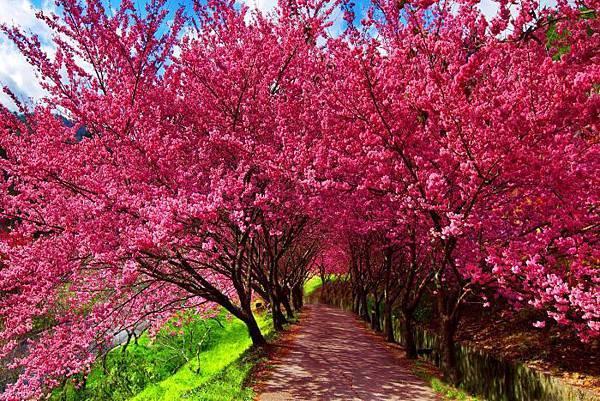 3武陵的櫻花  美豔浪漫絕倫