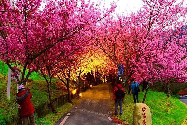 1武陵的櫻花  美豔浪漫絕倫