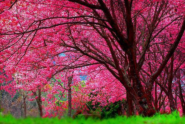 4武陵的櫻花  美豔浪漫絕倫