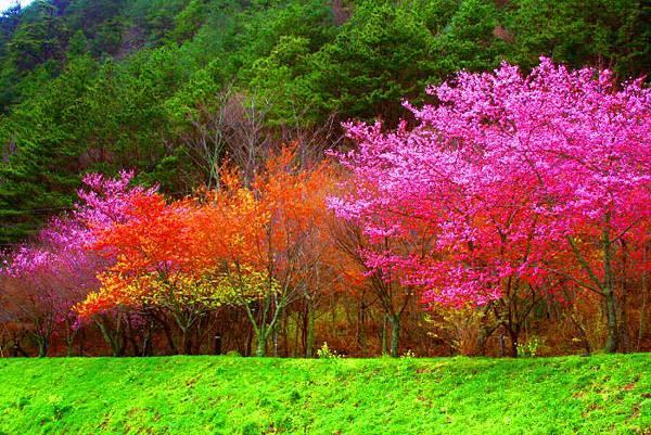 6武陵的櫻花  美豔浪漫絕倫