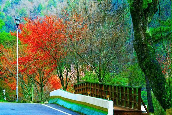 9武陵的櫻花  美豔浪漫絕倫