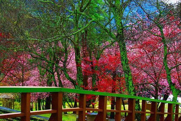 8武陵的櫻花  美豔浪漫絕倫