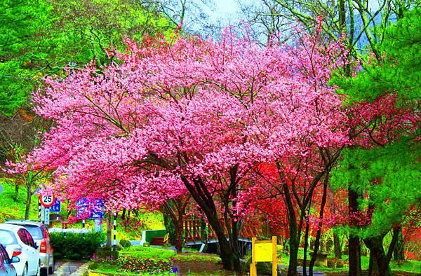 7武陵的櫻花  美豔浪漫絕倫