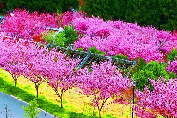 13武陵的櫻花  美豔浪漫絕倫