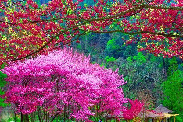 11武陵的櫻花  美豔浪漫絕倫