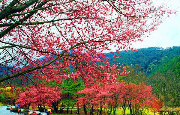 14武陵的櫻花  美豔浪漫絕倫