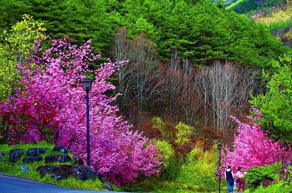 15武陵的櫻花  美豔浪漫絕倫