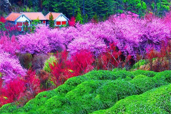 12武陵的櫻花  美豔浪漫絕倫