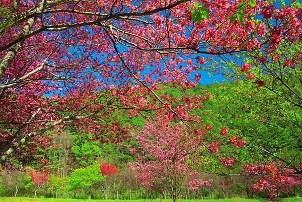 16武陵的櫻花  美豔浪漫絕倫