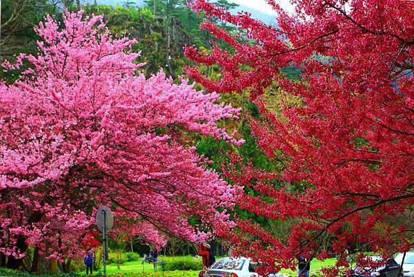 18武陵的櫻花  美豔浪漫絕倫